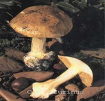Foto Cortinarius-Sulfurinus