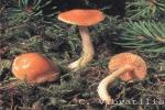 Foto Cortinarius-Vibratilis