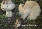 Foto Amanita-Boudieri
