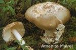 Foto Amanita-Mairei