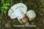 Foto Amanita-Solitaria