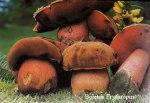 Foto Boletus-Erythropus