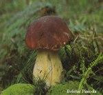 Foto Boletus-Pinicola