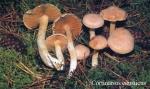 Foto Cortinarius-Causticus