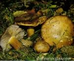 Foto Cortinarius-Glaucopus