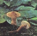 Foto Cortinarius-Humicola