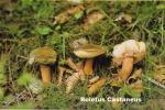 Foto Gyroporus-Castaneus