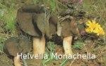 Foto Helvella-Monachella