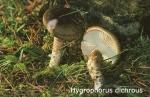 Foto Hygrophorus-Dichrous