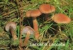 Foto Laccaria-Laccata