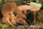 Foto Lactarius-Atlanticus