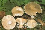 Foto Lactarius-Fuliginosus-v.Alb