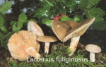 Foto Lactarius-Fuliginosus
