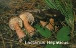 Foto Lactarius-Hepaticus