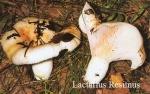 Foto Lactarius-Resimus