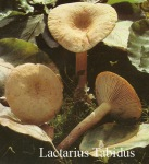 Foto Lactarius-Tabidus