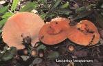 Foto Lactarius-Tesquorum