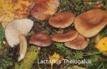 Foto Lactarius-Theiogalus