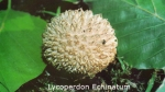Foto Lycoperdon-Echinatum