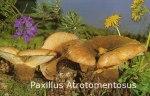 Foto Paxillus-Atrotomentosus