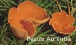 Foto Peziza-Aurantia