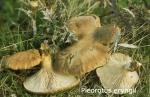Foto Pleorotus-Eryngii