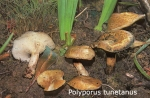 Foto Polyporus-Tunetanus