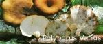 Foto Polyporus-Varius