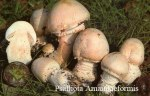 Foto Psalliota-Amanitaeformis