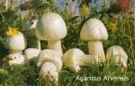 Foto Agaricus-Arvensis