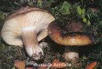 Foto Russula-Acrifolia
