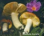 Foto Russula-Aurata