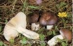 Foto Russula-Caerulea