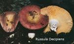 Foto Russula-Decipiens