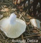 Foto Russula-Delica