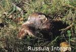 Foto Russula-Integra