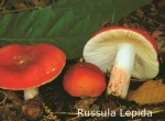 Foto Russula-Lepida