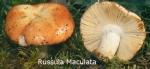 Foto Russula-Maculata