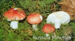 Foto Russula-Minutula