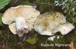 Foto Russula-Nigricans
