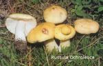 Foto Russula-Ochroleuca