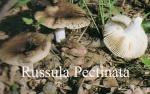 Foto Russula-Pectinata