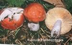 Foto Russula-Pseudointegra
