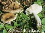Foto Russula-Puellaris