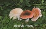 Foto Russula-Rosea
