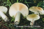 Foto Russula-Sardonia-f.Viridis