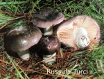 Foto Russula-Turci