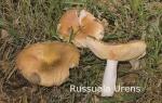 Foto Russula-Urens