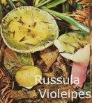 Foto Russula-Violeipes