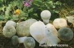 Foto Russula-Virescens